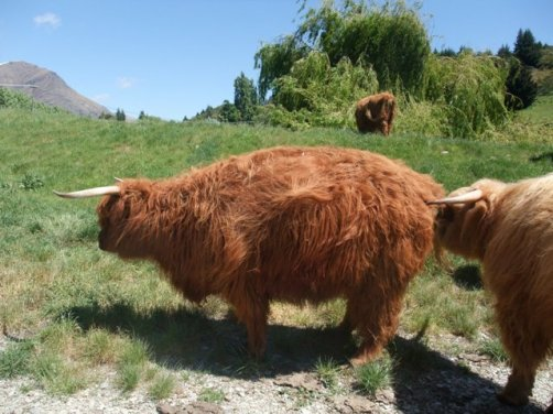 Scottish Highland Cattle WPCF